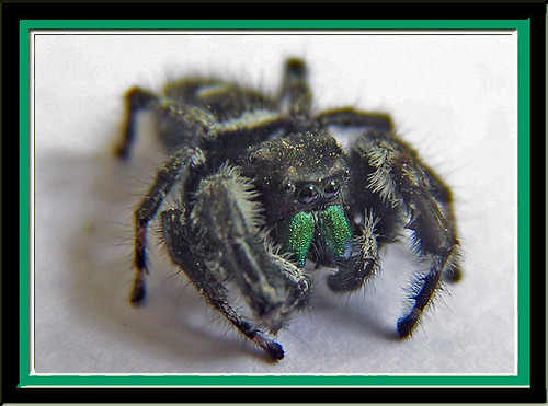 "green ""fanged"" jumping spider"