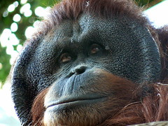 Orangutan by SaraYeomans, on Flickr