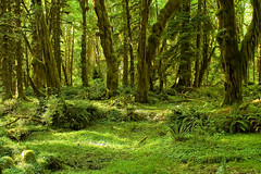 Olympic National Park - Maple Glade Trail (rachel_thecat) Tags: trees green forest olympicpeninsula washingtonstate olympicnationalpark maples canoneos350d mosses naturesfinest abigfave maplegladetrail shininggreen