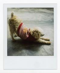 Style (Mister Phill) Tags: travel dog yoga delete10 delete9 thailand delete5 delete2 asia delete6 bangkok delete7 south save3 delete8 delete3 delete delete4 save save2 east poodle siam nonthaburi polaroid600film polaroidslr680