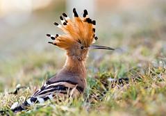 Hoopoe (graspnext) Tags: bird egypt luxor upupaepops hoopoe upupa eurasianhoopoe epops animalkingdomelite