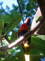 Lorikeet in the Branches