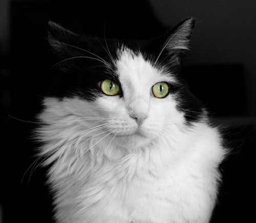 Cookie; The Black & White Kitty Cat