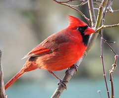 Squinting...Or Does He Look Suspicious? (trisheroverton) Tags: tree male bird birds bravo cardinal branches indiana sunny limb naturesfinest specanimal animalkingdomelite qemdfinchadminfave avianexcellence qemdadminfave