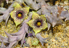 Endangered Orbea paradoxa flowers (Martin_Heigan) Tags: camera red flower macro nature digital southafrica succulent nikon close martin dam photograph list data endangered d200 dslr habitat kwazulunatal orbea asclepiadaceae 60mmf28micro paradoxa asclepiad stapeliad jozini nikonstunninggallery heigan hugyourcacti cactisucculentsbulbplants pongolapoort 11february2007 wsnbg mhsetstapeliads mhsetflowers