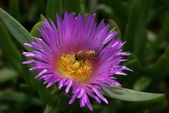 Bee (paulewogs) Tags: flowers hawaii bees maui bee mauihawaii