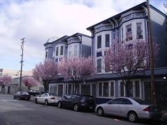 Flowering plum trees (MarkPritchard) Tags: blossoms sidewalktrees plumtrees blossomingtrees