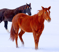Horses Standing in Snow (Cliff Michaels) Tags: winter horses horse snow mountains highfive michaels amateurs easttennessee 25faves cliffmichaels abeauty amateurshighfive invitedphotosonly tennpenny photoscliff