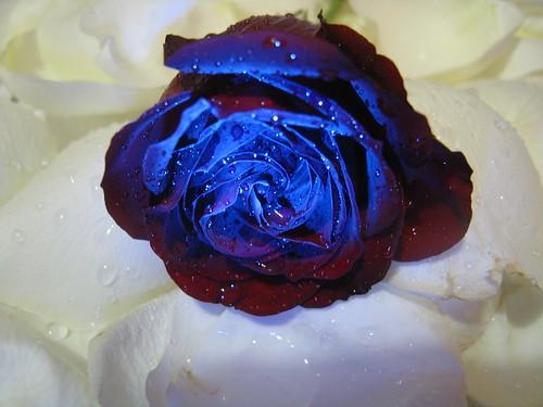 gül / rose by paşanınyeri.