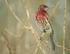 Snow, sleet, and rain...what a day for the birds. (nature55) Tags: nature rain birds wisconsin outdoors wildlife snowstorm aves blizzard housefinch sleet specanimal animalkingdomelite abigfave flickrgold avianexcellence