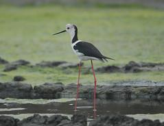 高蹺鴴 Black-winged Stilt - by Changhua Coast Conservation Action