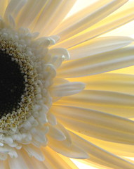 Five (annkelliott) Tags: flowers canada flower calgary garden explore alberta daisy gerberadaisy blueribbonwinner interestingness94 i500 annkelliott superbmasterpiece explore2007march5