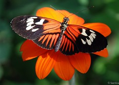 Camoflauge (Pardesi*) Tags: flowers orange macro nature birds florida explore camouflauge butterflyworld i500 interestingness014 pardesi explore031407