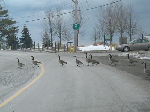 Canada Goose Crossing