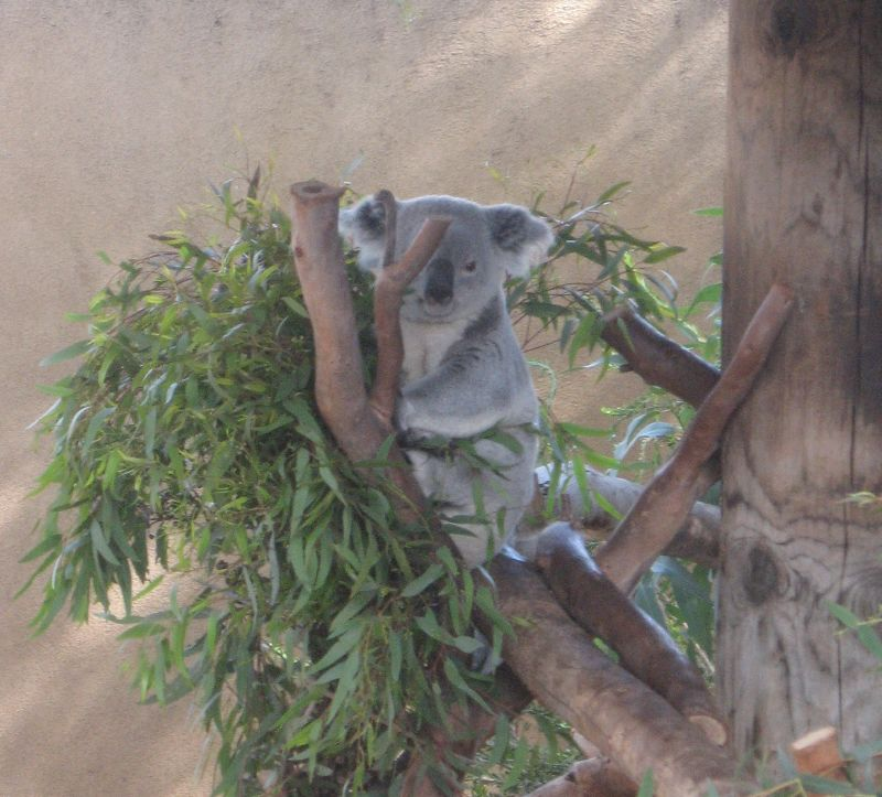 Koala.  Doped Up.