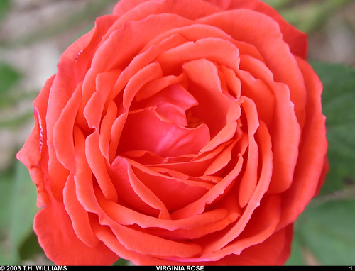 Rose 00001