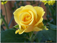 Jean Margaret... (welshlady) Tags: flower beauty rose yellow wow ilovenature memorial dof searchthebest kodak 100views bloom 200views bandstand canola florafauna standingovation helluva captainscott welshlady 10faves theworldthroughmyeyes 25faves abigfave anawesomeshot welshflickrcymru superbmasterpiece