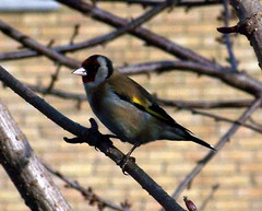 Goldfinch by Lavender Pond