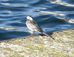 Pied Wagtail on Canada Water