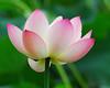 Another Pink Lotus (ozoni11) Tags: pink flowers flower nature garden nikon waterlily lotus bokeh waterlilies wetlands waterplants pinkflowers pinkandgreen naturesfinest interestingness172 i500 abigfave impressedbeauty ozoni11 theobligatoryflowerpicture