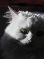 Emilly (mauzlover) Tags: white cat persian emily feline kitty sunny katze emilly abigfave impressedbeauty ultimateshot mauzlover