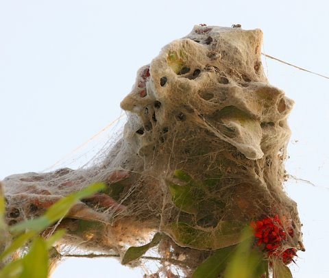 Nest of the Social Spiders