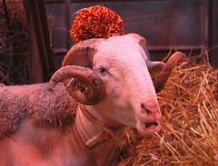 New Style ! (Jean-christophe 94) Tags: animal sheep jc94 jeanchristophe94