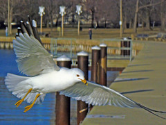 Ring-Billed Gull (Happy_Peasant) Tags: bird nature seagull gull lakemichigan montroseharbor ringbilledgull naturesfinest fz7 pdpnw avianexcellence