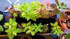 Overwintering Coleus at Work 4