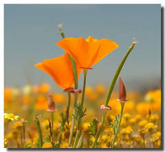 Spring time poppy (camerainhand/Larry Boswell) Tags: california flower spring bravo poppy lancaster wildflowers antelopevalley gamewinner faceoffwinner 15challengeswinner photofaceoffwinner faceoffplatinum beginnerdigitalphotographychallengewinner beginnerdigitalphotographychallenge fotocompetition fotocompetitionbronze fotocompetitionsilver agcg fotocompetitiongold gamewinnerx2 thepinnaclehof kanchenjungachallengewinner tphofweek89