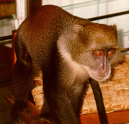 Monkey at Mombasa