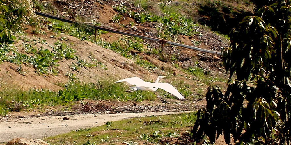 Egret_in_flight.JPG