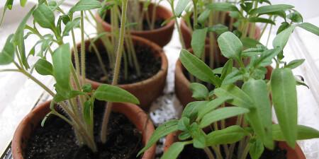 Tomatenplant