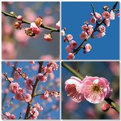Spring fever (JenniferNelms) Tags: pink blue interestingness spring fdsflickrtoys bravo jen mosaic blossoms abg atlantabotanicalgarden 48 naturesfinest supershot interestingness48 i500 abigfave anawesomeshot impressedbeauty superbmasterpiece jenatl