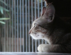 watching over (jobarracuda) Tags: cat lumix searchthebest kitty pusa fz50 panasoniclumix abigfave jobarracuda wowiekazowie pachuchay superhearts jojopensica fotocompetitionbronze