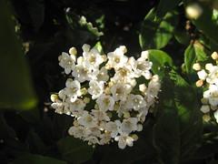 PRiMaVeRa Que No LLeGa (RoOoOo!!!) Tags: parque flores verde primavera blanco hojas spring 21 sanfernando marzo