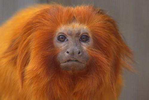 القرد الذهبي