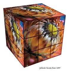 Rubik's Cube Gerbera