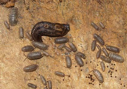 slugs&isopods1