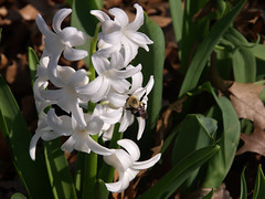 6. Hyacinth in my garden