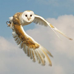 Wowl! (nicebiscuit) Tags: wings bravo flight blurred owl barnowl falconry knutsford naturesfinest parkstock abigfave frhwofavs gauntletbirdsofprey bloggedbyabigfave