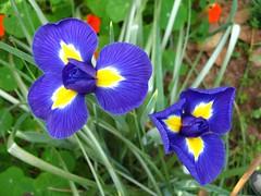 Blue iris - אירוס כחול (yoel_tw) Tags: blue iris אירוס כחול diamondclassphotographer flickrdiamond