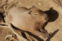 [フリー画像] [動物写真] [哺乳類] [ネズミ上科] [カビパラ] [寝顔/寝相/寝姿]      [フリー素材]