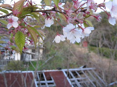Spring blossoms (jasonkrw) Tags: flowers flower japan rural island 桜 cherryblossoms 花 ogaki setonaikai nearmyhouse etajima 江田島 大柿
