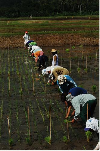 los banos laguna farm farmer farming planting rice seedling rural Pinoy Filipino Pilipino Buhay  people pictures photos life Philippinen  菲律宾  菲律賓  필리핀(공화국) Philippines,rural