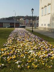 Bibliotekbilder mars 2007 (Fredrikstad bibliotek) Tags: spring krokus vr