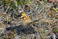 Painted Lady (Roy Lowry) Tags: vanessacardui paintedlady southstack