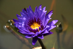 Yummy! (DanielKHC) Tags: flower colors thailand dof lotus bangkok sony alpha a100 sigma18200mm danielcheong danielkhc