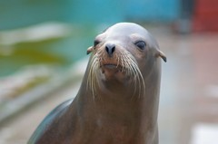 Phoebe the Sealion
