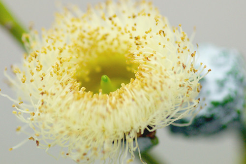 ユーカリ・グラニートの花